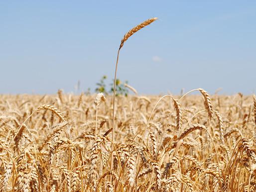 Площади под яровой пшеницей в Липецкой области в 2021 году увеличились в два раза
