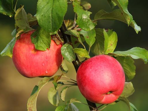 Урожай органических яблок в Липецкой области в этом году превысит 200 тонн