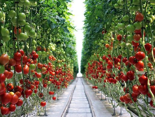 Почти 50 тысяч тонн тепличных овощей собрали в Липецкой области с начала года