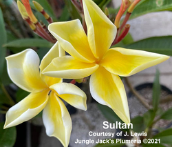 Sultan Jenn 6