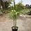 Thumbnail: Chamaedorea plumosa  'Baby Queen'