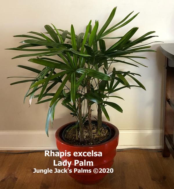 Rhapis excelsa Lady Palm 2 gal