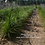 "Thumbnail: Beaucarnea recurvata ""Ponytail Palm"""