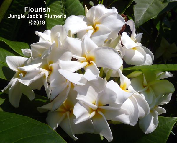 Flourish T1