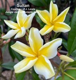 Sultan Jenn 9