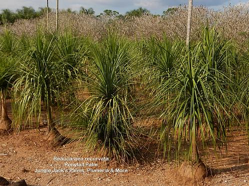 "Beaucarnea recurvata ""Ponytail Palm"""
