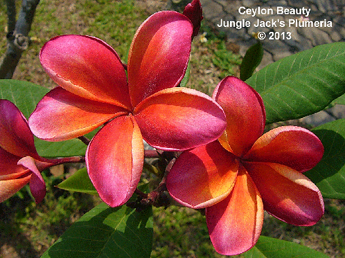 Ceylon Beauty