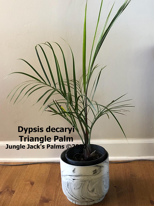 Dypsis decaryi 'Triangle Palm'