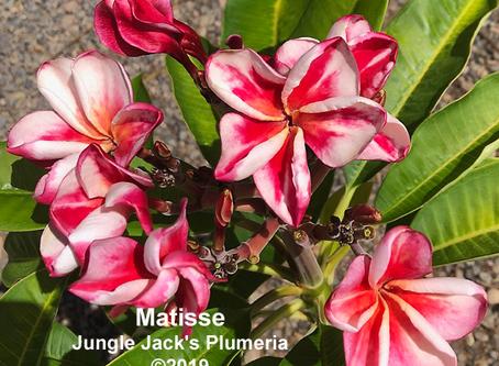 Plumeria PreOrder Now Available