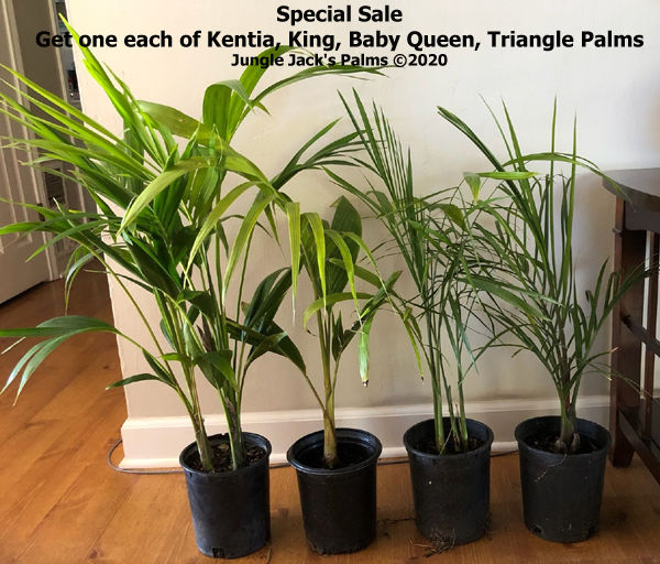 Kentia, King, Baby Queen, Triangle palm: Special