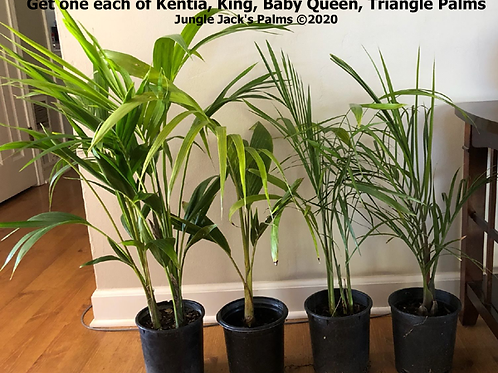 Kentia, King, Baby Queen, Triangle 1G: Special Sale