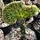 Thumbnail: Euphorbia lactea 'Cristata'