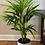 Thumbnail: Howea forsteriana 'Kentia Palm'