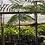 "Thumbnail: Schizolobium parahyba ""Brazilian Fern Tree"""