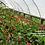 Thumbnail: Euphorbia milii