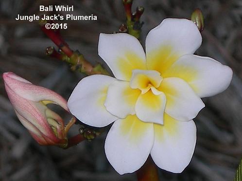 Bali Whirl