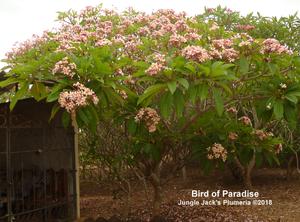 Semi-compact Bird of Paradise mother tree