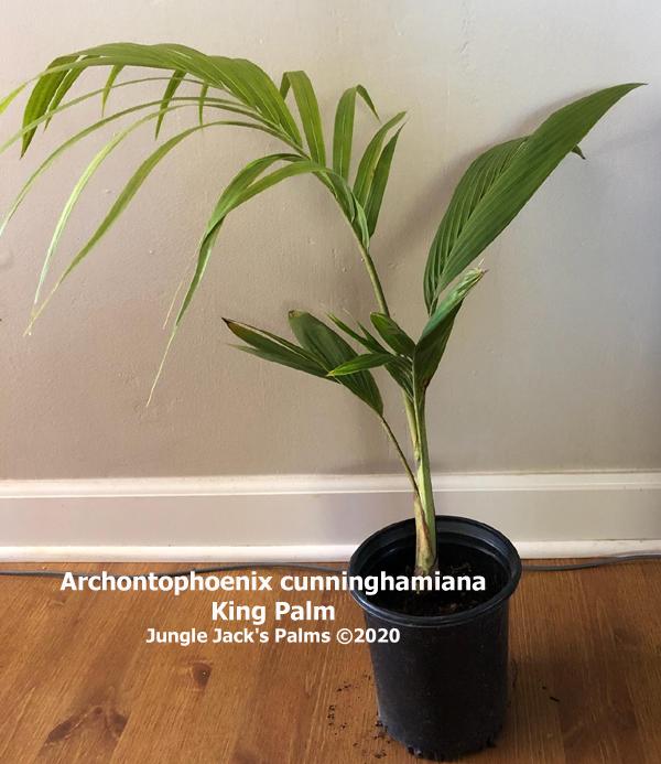 Archontophoenix cunninghamiana  King palm 1 gal