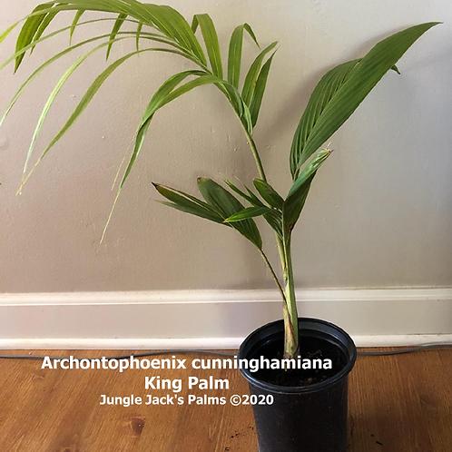 "Archontophoenix cunninghamiana ""King Palm"""