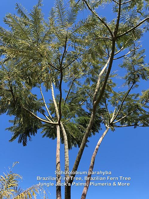 "Schizolobium parahyba ""Brazilian Fern Tree"""