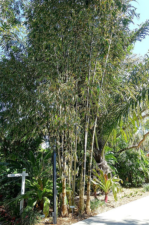 "Dendrocalamus asper ""Giant Bamboo"""