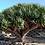 "Thumbnail: Dracena draco ""Dragon Tree"""