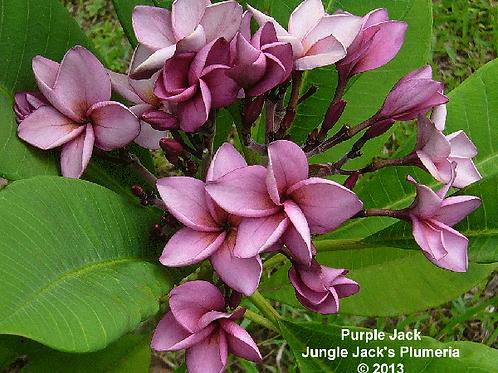 Purple Jack