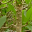"Miniature growth habit displays close leaf scars; in Thailand, grows 4-5"" a year. Can grow less than 2"" a year."