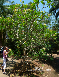Medium sized Inca Gold tree