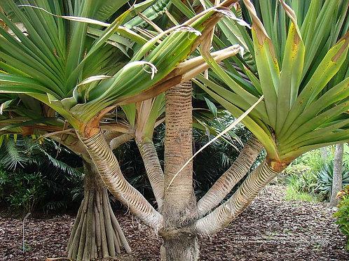"""Pandanus utilis """"Screw Pine"""""""