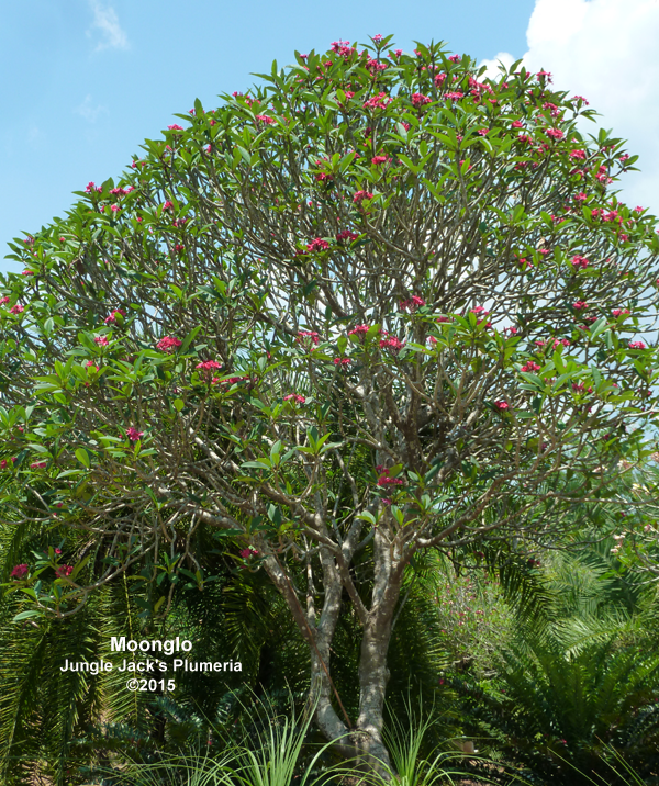 Moonglo mother tree, tall grower