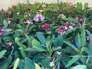 Texas Fans: Lots of JJ Plumeria Heading Your Way
