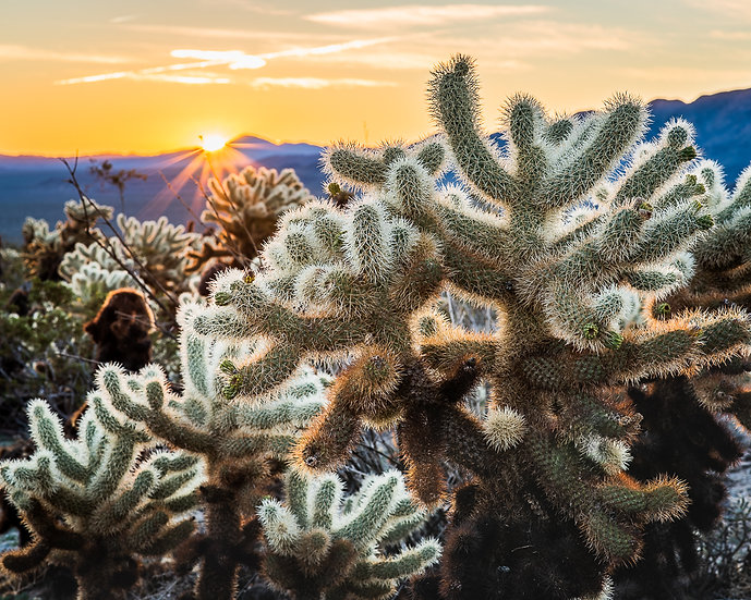 Cholla with Sun