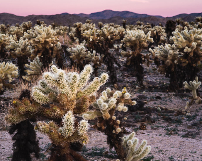 Cholla and Pink Sky