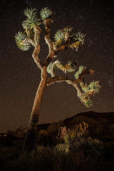 Joshua Tree at Night 1