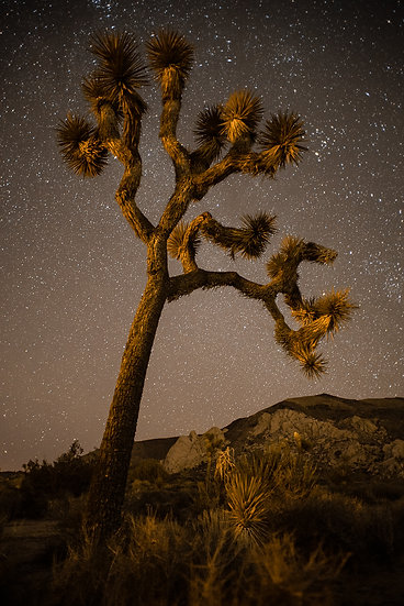 Joshua Tree at Night 2