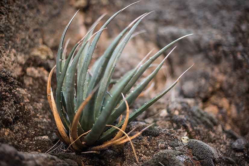 Cliffside Agave