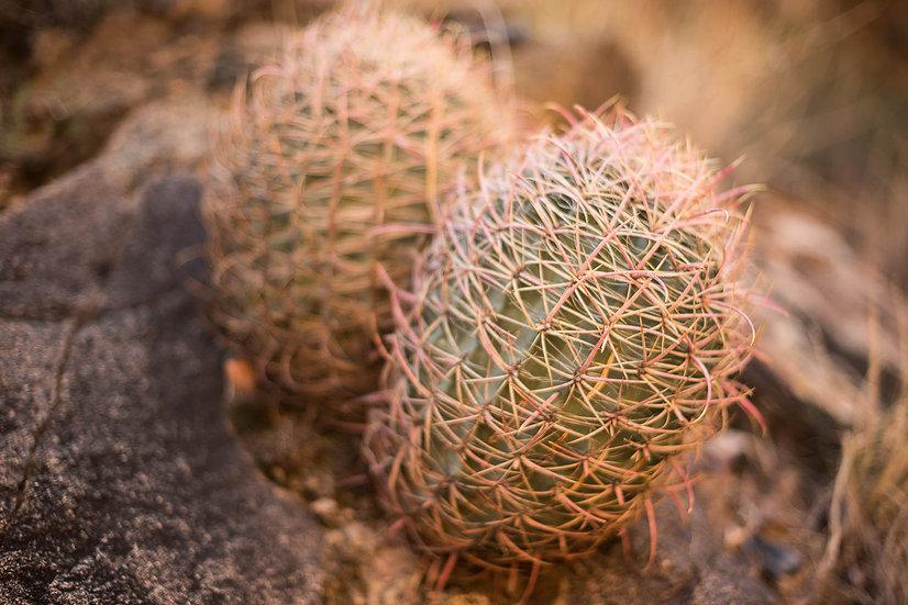 Arizona Barrel Cactus