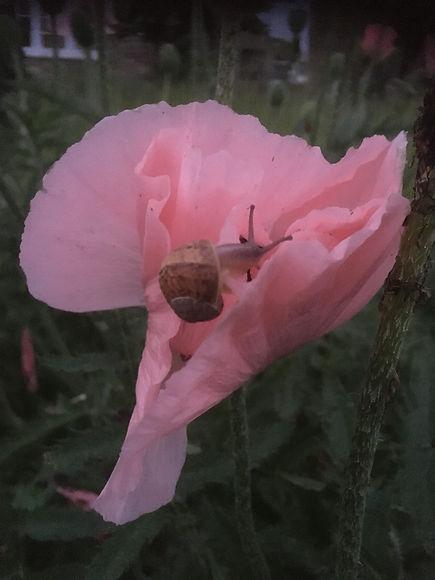 Cosy poppy