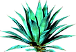 Agave_2.png