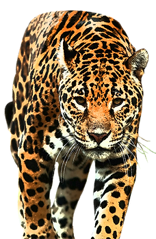 Jaguar_walking_duotone.png