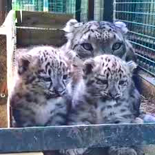 Snow Leopard Cubs with Mum