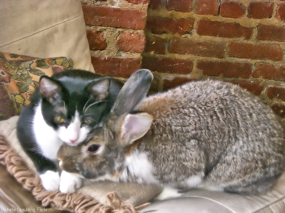 Black and white cat cuddling up to a rabbit