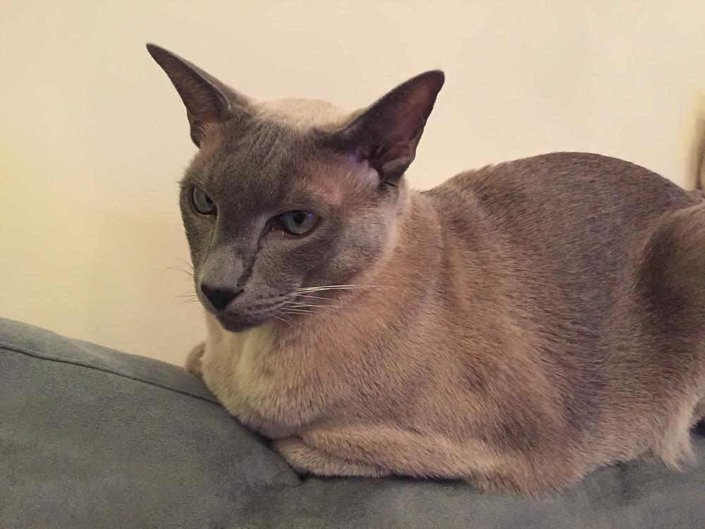 cat sitting on back of sofa