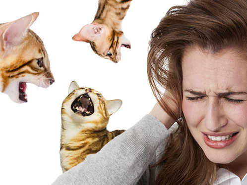 How to Get a Bengal Cat to Stop Miaowing!