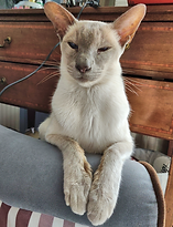 Siamese cat sitting with paws on front of a stool