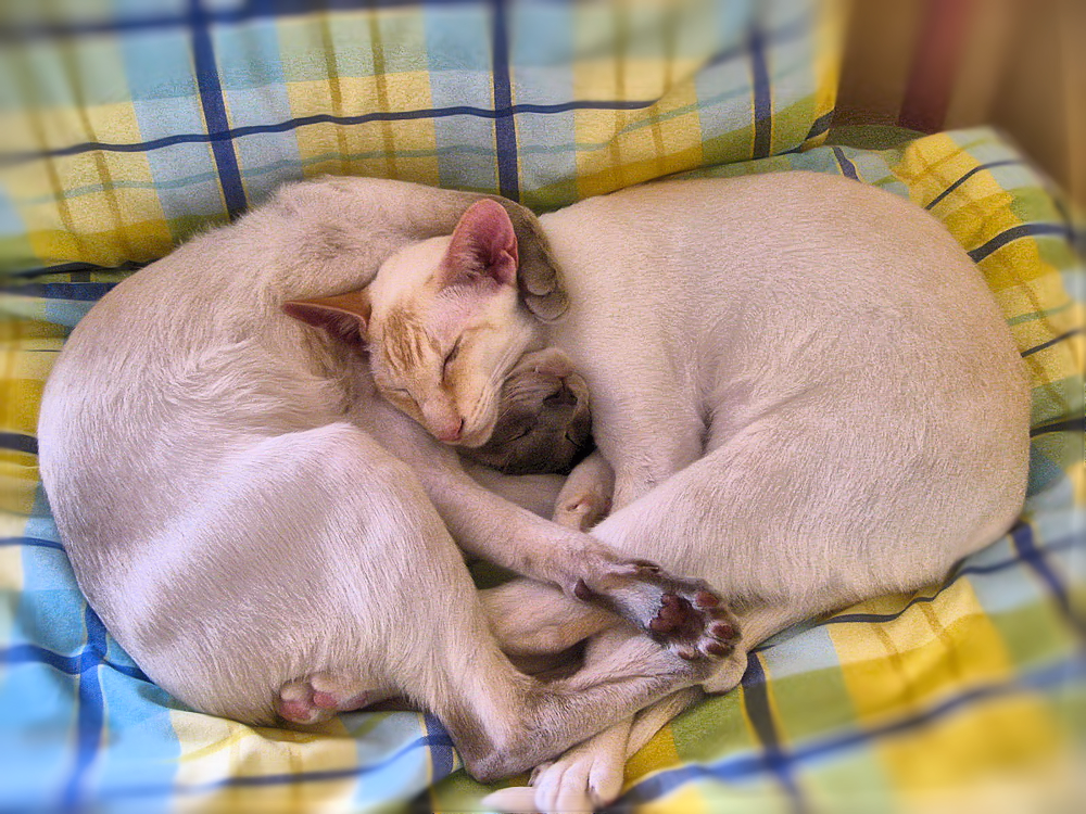 Two siamese cats entwined on a bed