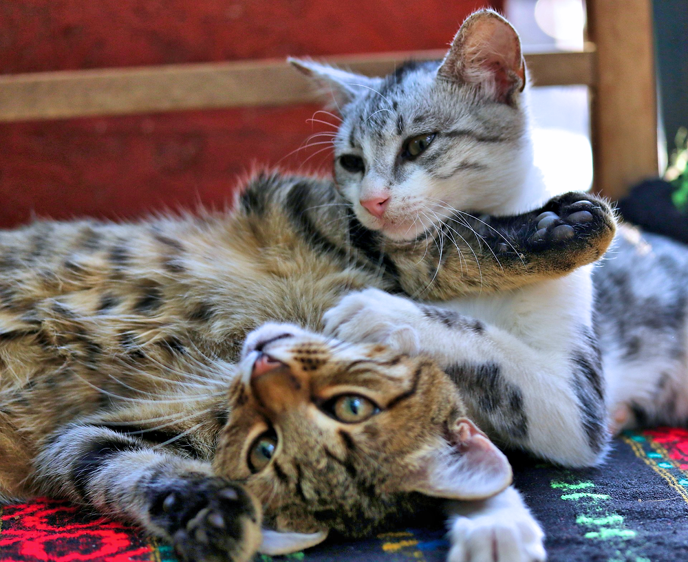 Two cats playing with each other