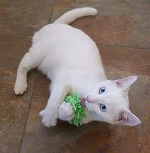 White kitten licking toy