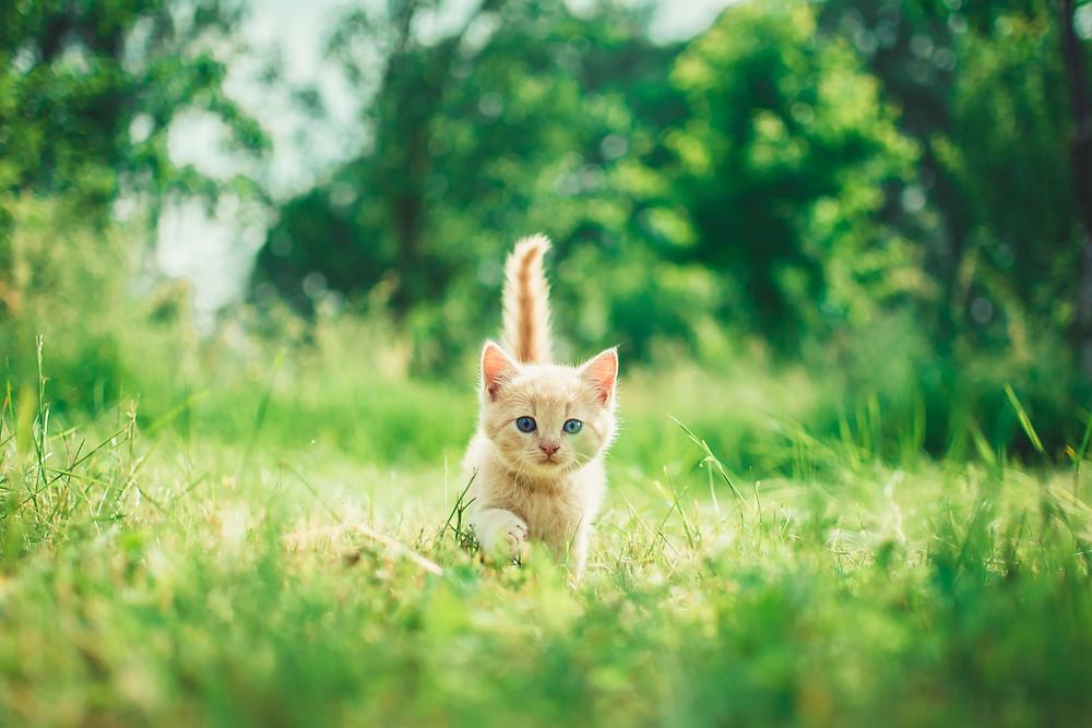 kitten walking on grass